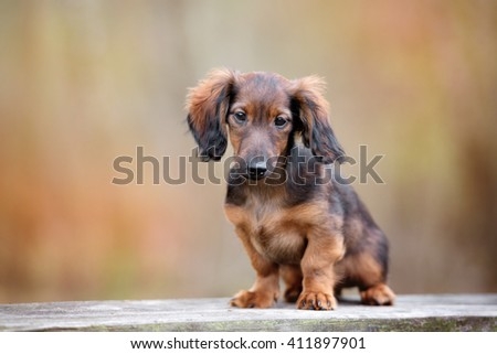 brown dachshund puppy portrait outdoors - stock photo
