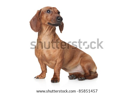 Brown Dachshund sits on a white background