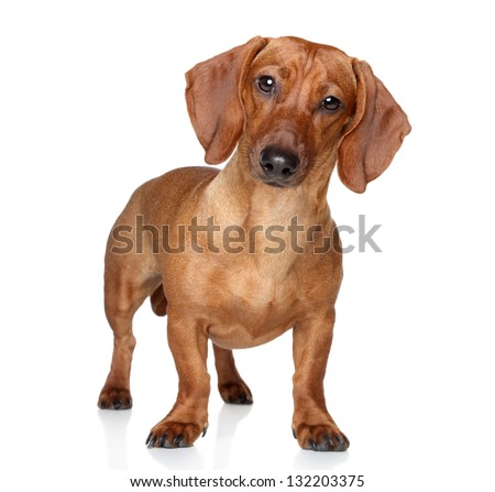 Brown dachshund stand on a white background - stock photo