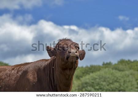 Brown Danish calf closeup in the sun - stock photo