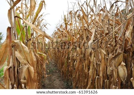 brown, dead corn stalks in rows after harvest - stock photo