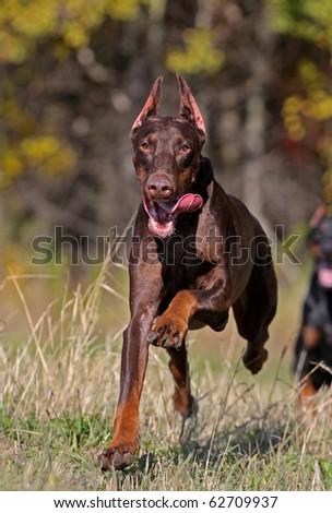 Brown doberman dog running fast - stock photo