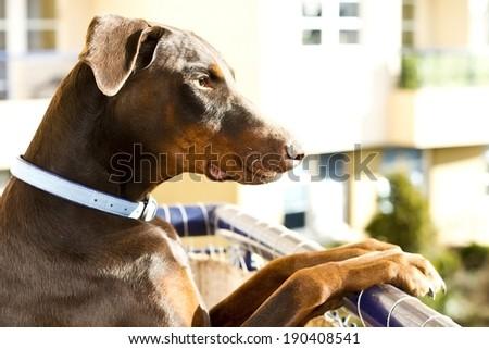 brown doberman guarding your house - stock photo