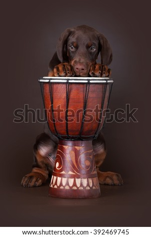 Brown Doberman puppy put his paws up on the drum and looks sad - stock photo