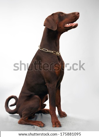 brown doberman sitting in studio in profile long shot - stock photo
