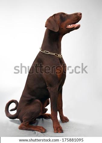brown dobermann in studio - stock photo