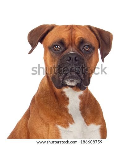 Brown dog bulldog isolated on white background - stock photo