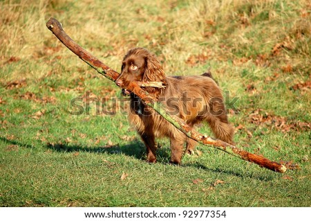 Brown Dog Carrying Stick - stock photo