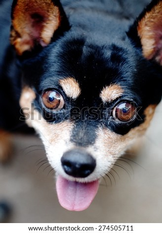 brown dog eyes with smiling face close up of a cute black fat lovely miniature pinscher dog resting outdoor on a country house's concrete garage floor portraits view  - stock photo