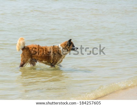 Brown dog in the sea