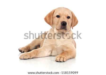 Brown Dog Isolated on a White Background - stock photo