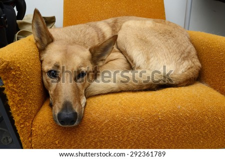 brown dog lying in the orange chair - stock photo