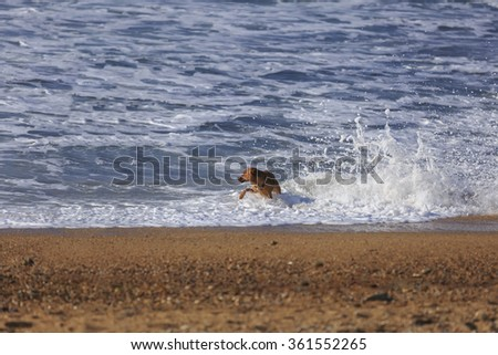 Brown dog playing in ocean wave splashes