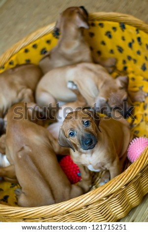 brown dog puppy on a blue couch - stock photo