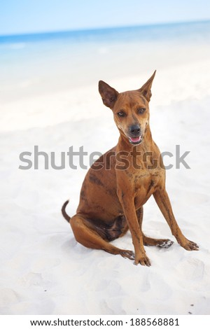 Brown dog relaxing on the sandy beach - stock photo
