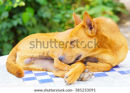 Brown dog sleep on concrete white table:Close up,select focus with shallow depth of field. - stock photo