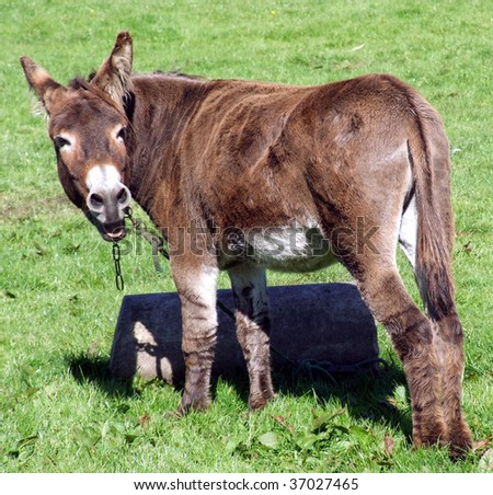 Brown donkey braying over his shoulder - stock photo