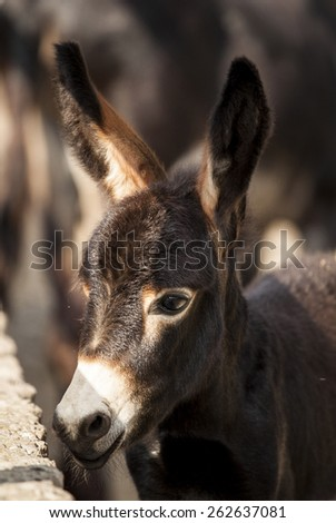 brown donkey with big ears close-up - stock photo