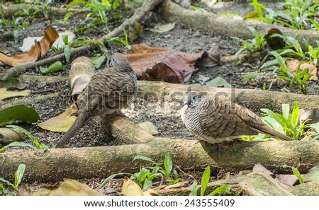 brown dove - stock photo