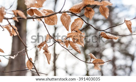 Brown dry autumn leaves remains on branches of beech tree in winter forest  - stock photo