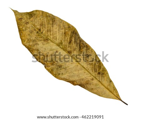 Brown dry leaf closeup with isolated background