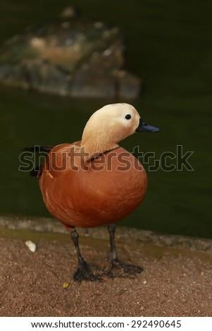 Brown duck - stock photo