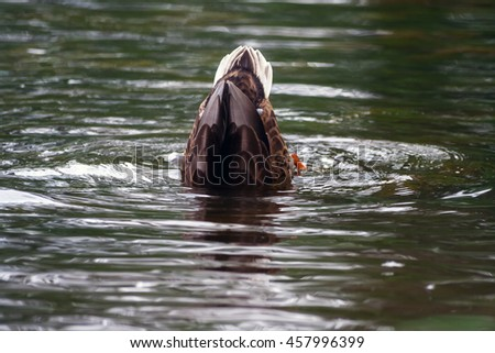 brown duck hunting in the water in a small park, summer, - stock photo
