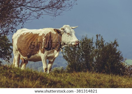Brown Dutch breed cow with bell on a grassland in Transylvania, Romania. Ecological cattle breeding in natural environment. - stock photo