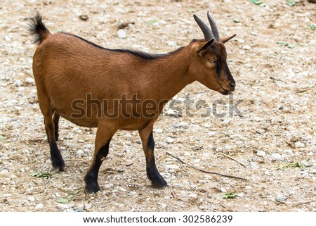 Brown dwarf goat (cameroon dwarf goat) standing on the ground - stock photo
