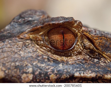 Brown eye of caiman in close-up view - stock photo