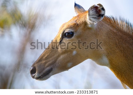 Brown female impala head close up - stock photo
