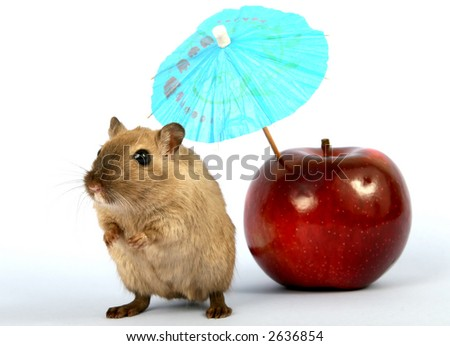 Brown female rodent on summer vacation with apple, macro close up with copy space - stock photo