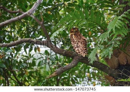 Brown Fish Owl sitting on a tree branch. Sri Lanka - stock photo