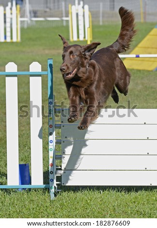 Brown Flat Coat Retriever Dog Jumping Agility Fence - stock photo