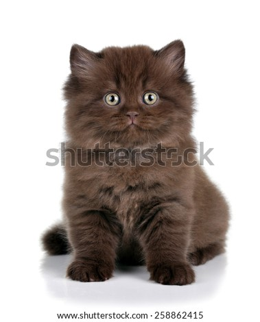 Brown fluffy kitten on a white background - stock photo