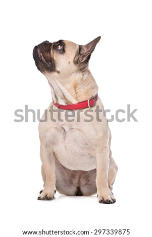 Brown French Bulldog sitting in front of a white background - stock photo