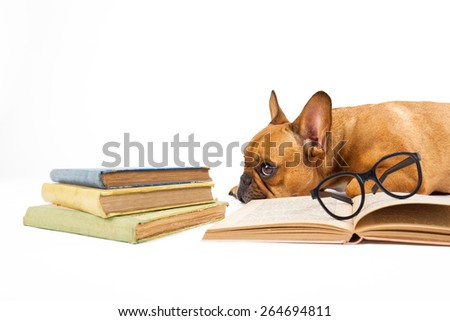 Brown French bulldog with glasses and books against white background - stock photo