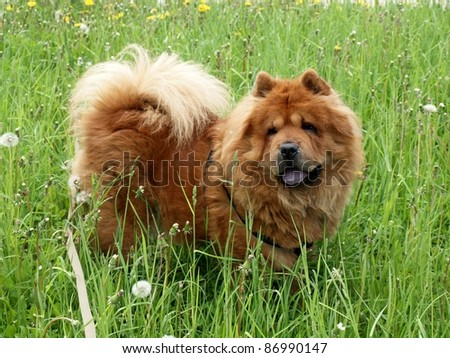 Brown friendly chow-chow dog - stock photo