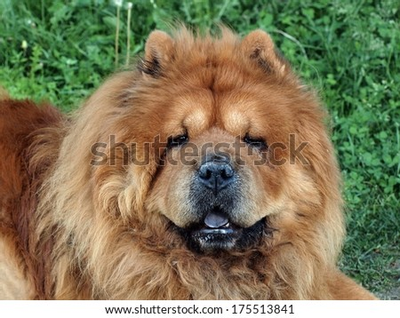 Brown friendly chow-chow dog in the green grass. - stock photo