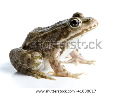 Brown frog - stock photo