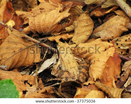 brown frog into brown leaves - stock photo