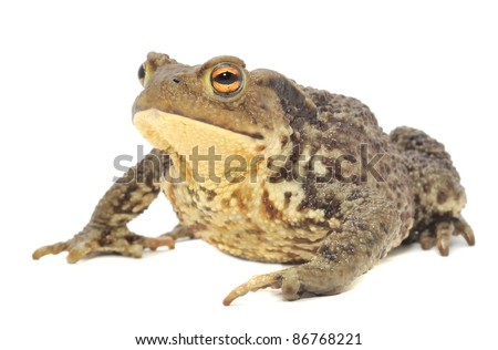 Brown Frog Isolated on White Background - stock photo