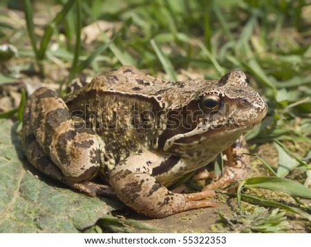 Brown frog on a grass