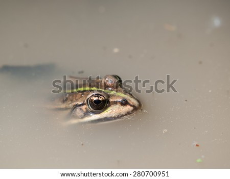 Brown frog Pelophylax swimming in the water - stock photo