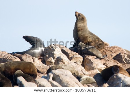 Brown fur seals, Arctocephalus pusillus, in Dyer island, Gansbaai, South Africa.