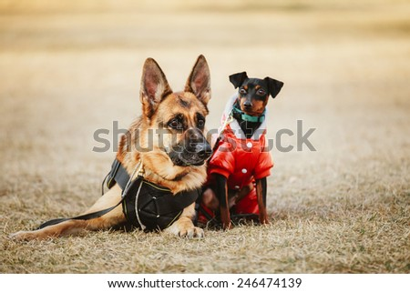 Brown German Sheepdog And Black Miniature Pinscher  Pincher Laying Together On The Dry Grass. Autumn - stock photo