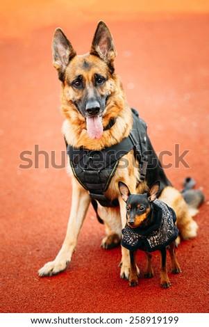 Brown German Sheepdog And Black Miniature Pinscher Pincher Sitting Together On Red Floor Tennis Court Outdoor - stock photo