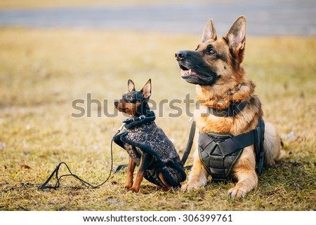 Brown German Sheepdog And Black Miniature Pinscher Pincher Together On Dry Grass. Autumn - stock photo