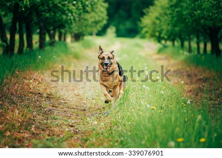 Brown German Shepherd Running On Green Grass In Spring Garden - stock photo