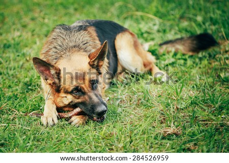 Brown German Shepherd Stick Chewing On Grass - stock photo